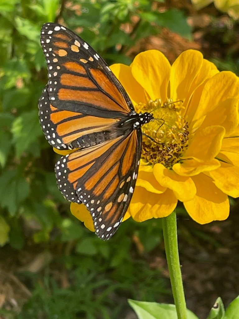 Monarch butterfly on a dark yellow zinnia flower.